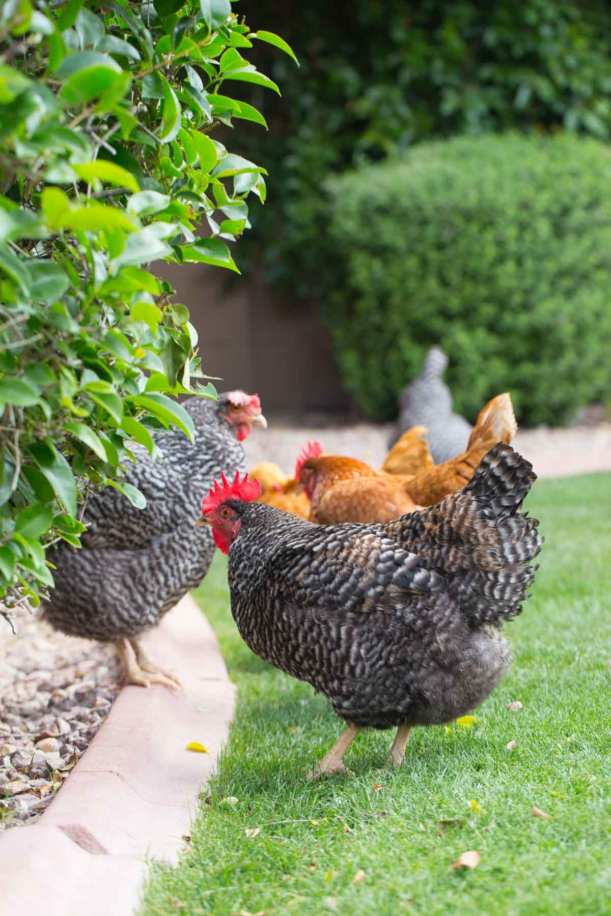 Flock of backyard chickens