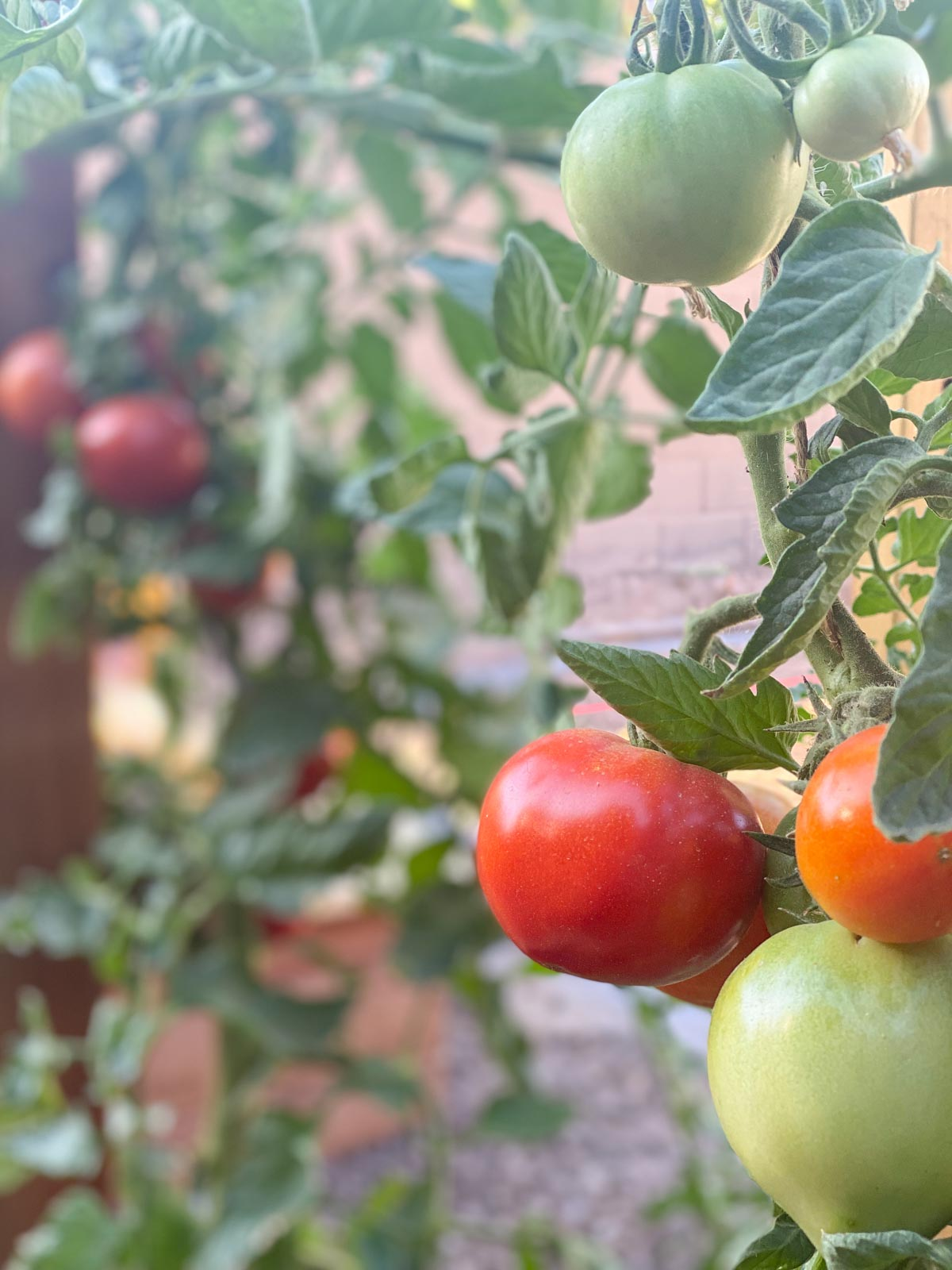 Close up shot of tomatoes growing on a vine.